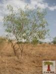 Acacia - Anbar