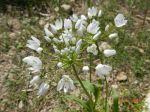 allium neopolitanium