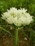 Allium orientale