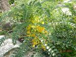 astragalus macrocarpus 2