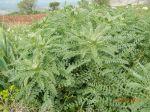 astragalus macrocarpus1