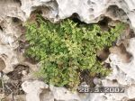 cheilanthes pteridioides