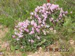 cyclamen periscum pink