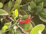 Loranthus acaciae