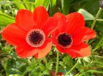 red anemone coronaria