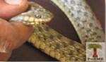 Dice Snake