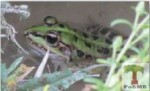 Levant Water Frog