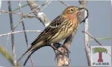 Red- Throated Pipit