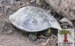 Striped Neck Terrapin