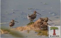 The Common Snipe