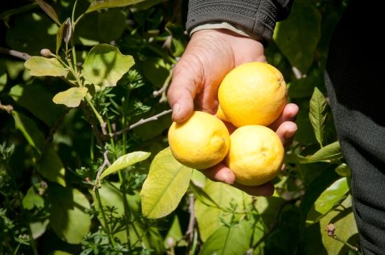 Fresh lemon harvest