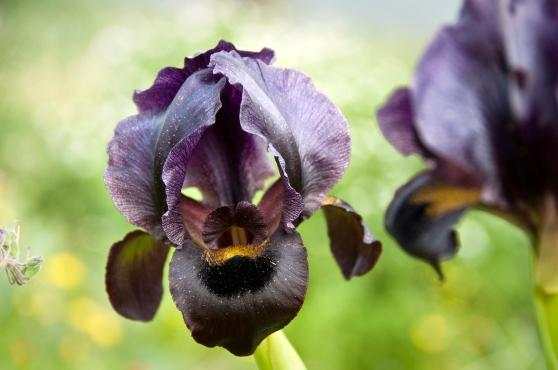 Black Iris - National Plant of Jordan