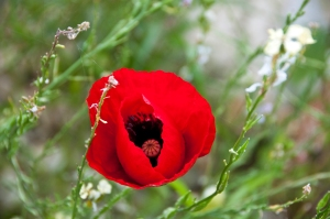 SHE_Large Red Poppy_Natural Habitat